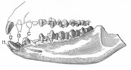 http://www.paleocene-mammals.de/esthonyx.jpg